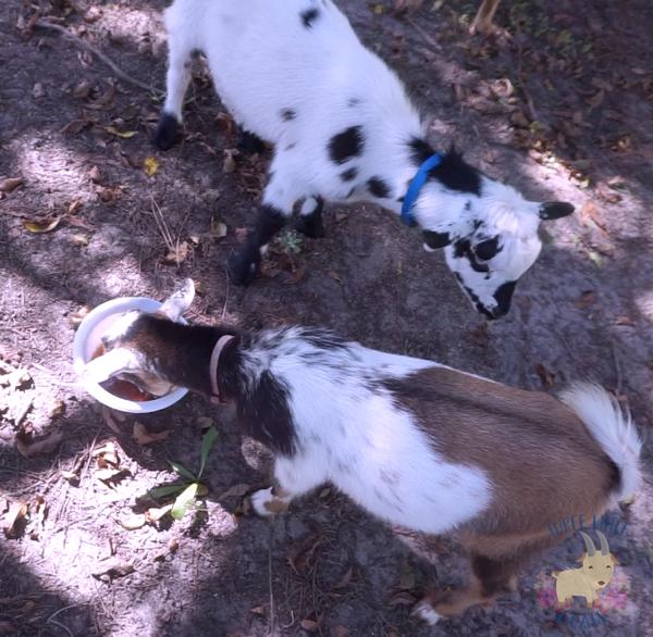 Goat Tummy Tamer Recipe