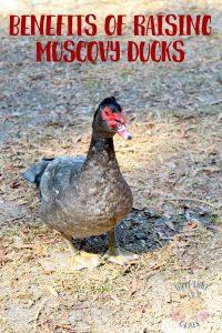 Benefits of Raising Muscovy Ducks