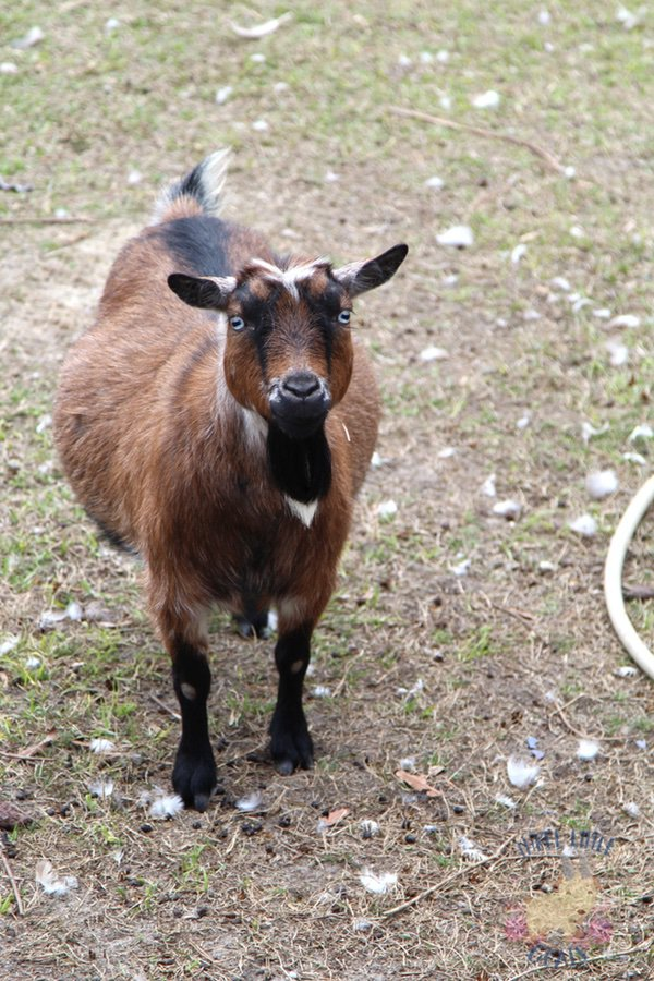 Questions to ask before you buy a goat