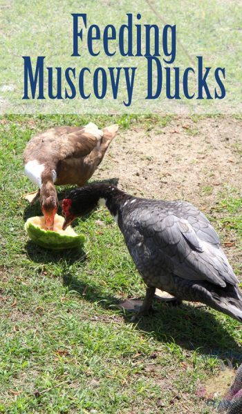 What Do Muscovy Ducks Eat?