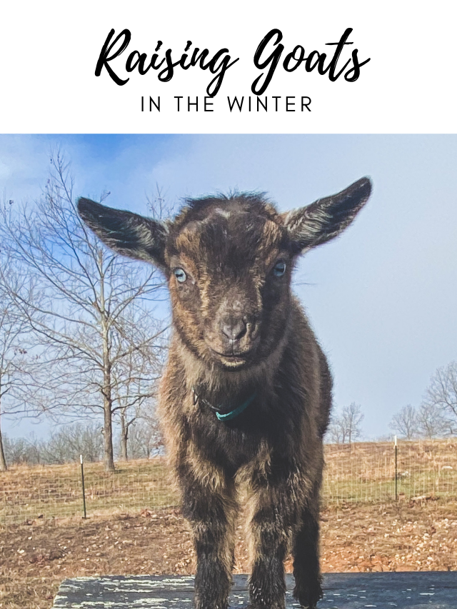 Raising Goats in the Winter