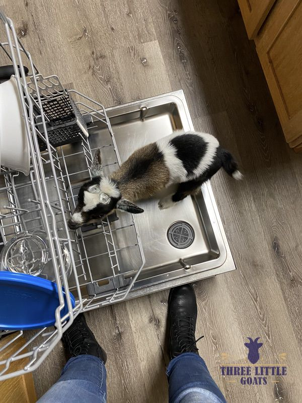 What to expect when you get a bottle baby goat