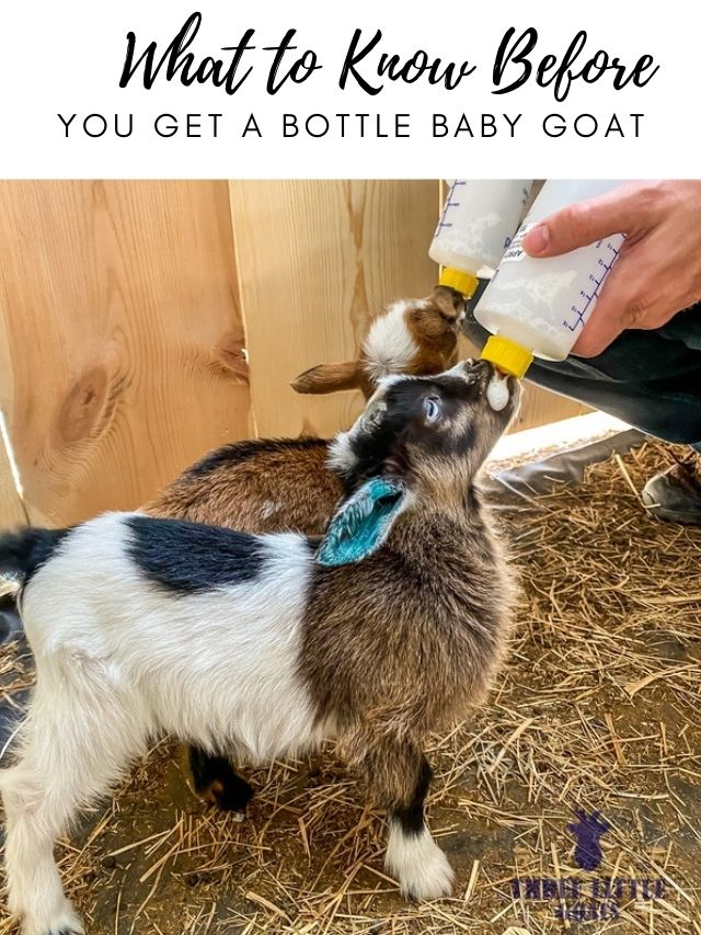 You Get a Bottle Baby Goat