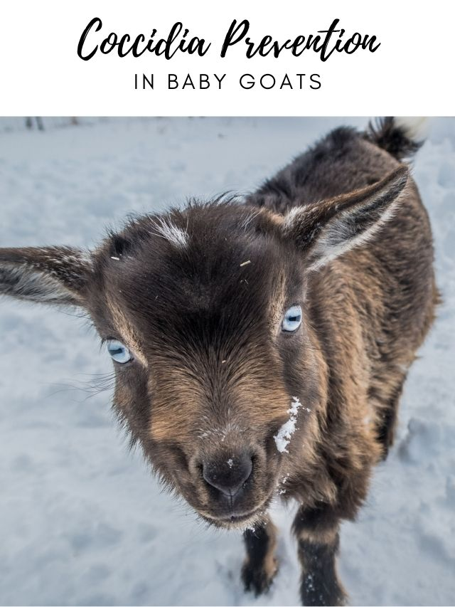 coccidia Prevention in Baby Goats